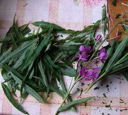 Цветы и листья иван-чая
