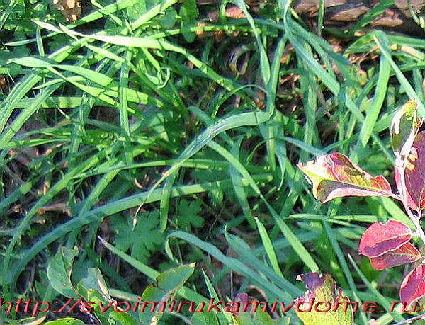 пырей фото растения крупным планом