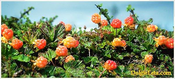 как растет спелая ягода морошка на болоте